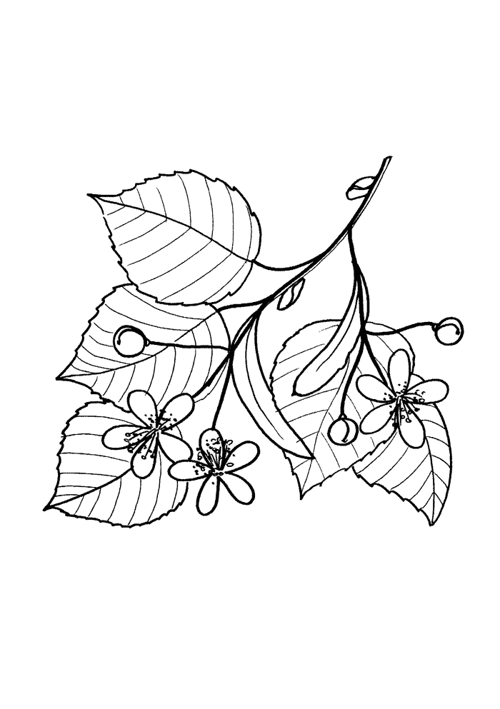 Linden Ausmalbilder Laub, Blätter