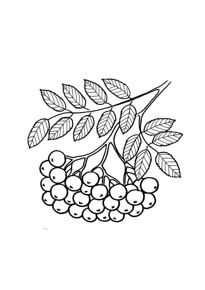 Mehlbeeren Ausmalbilder Laub, Blätter